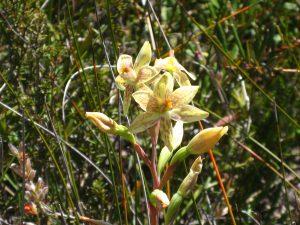 Custard Orchid